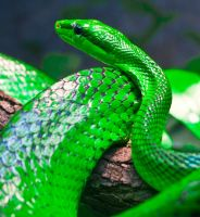 green mamba by Saphinris