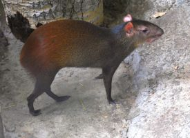 Red Rumped Agouti by Piebald111