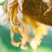 34.52 - Sunflower. by mylittlebluesky