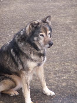 The Dog That Looks Like A Wolf by pokemongirlhope
