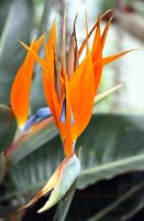 Bird of Paradise plant by printsILike