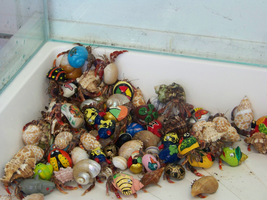 Painted Hermit Crabs by Sherrys-Camera