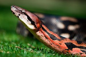 Madagascar Brown Boa by dkbarto