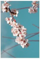 Cherry Blossoms 2 by ixe-chocolate
