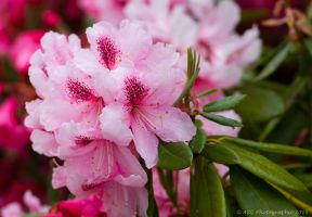 In the Pink by ARC-Photographic