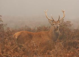 Stag II by andy-j-s