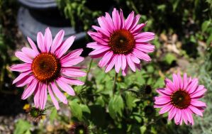 Coneflower Stock by DLR-Designs