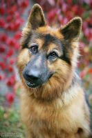 German shepherd by ankaszklanka