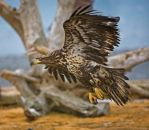 Immature Bald Eagle Homer AK by themobius