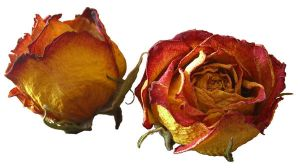 Dried roses cutout stock by hotaru-tenten