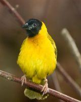 Black-headed Weaver by PlumCrazee