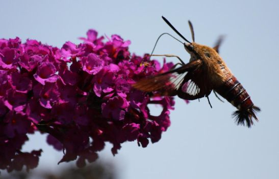 Hummingbird Moth by FancyTomKat