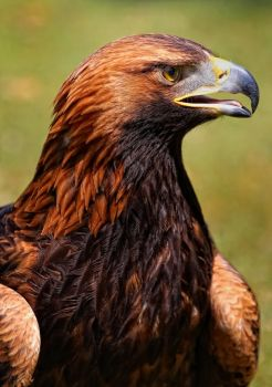 portrait of an eagle_III by deoroller