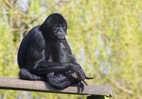 Spider Monkey at Dudley Zoo by PyramidHead
