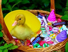 Easter Duckie by tkguess