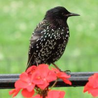 Central Park starling 1 - New York by wildplaces