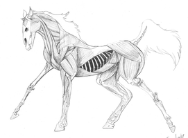 Horse Internal Anatomy Study by BloodGoldWings