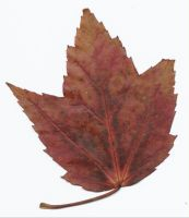 brownish maple leaf with veins by tash11-stock