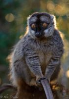Backlit Lemur by Shem-inja