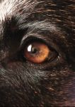 Dog eye by Refens