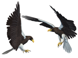 Sea Eagle 01 PNG Stock by Roys-Art
