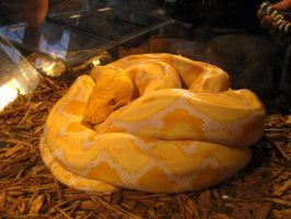 Reticulated Python 1 by ShadowsStocks