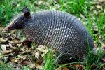 Armadillo by Johnt6390