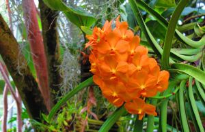 Orange Orchid by NycterisA