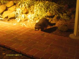 a racoon at my house by cellphonegeek