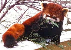 Red Panda Stock 7 by HOTNStock
