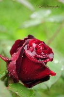 Wet rose by dodonline