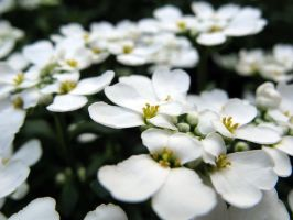 White Flowers Wallpaper by photonFUEL