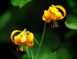 Tiger Lilies by greglief