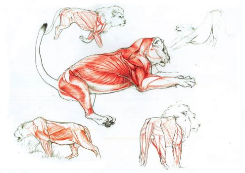 lion anatomy by Goldstress972