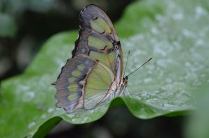 Malachite closed wing by franki-bee