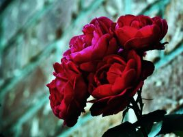 Roses by qui3ton3