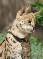 The Sweet Serval by OrioNebula