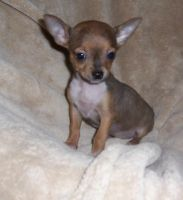 Chihuahua by poochpetite