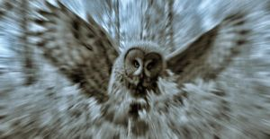 Owl attack by megaossa