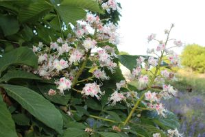 Horse chestnut blossom at Long Wood, Hanwell by loganmiracle