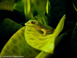 Gold dust day gecko 20 by kitty974