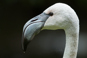 White flamingo portrait. by Ravenith
