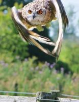 Owl mid flight. by lucyparryphotography