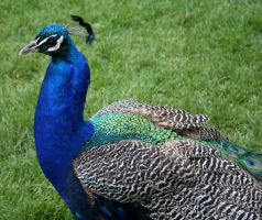 Tautphaus Zoo 89 Peacock by Falln-Stock