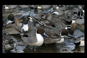 Ducks by mreviver