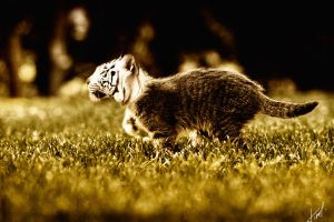 tiger cat, too by Tikeyphotoshop