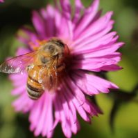 Another Bee on an Aster Flower by Darklordd