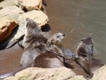 Otters 01 by LinzStock