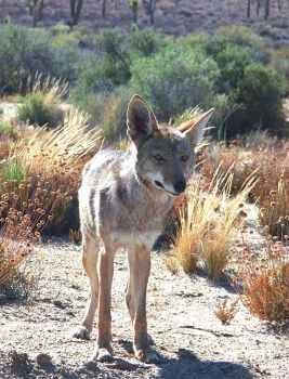 A Hungry Coyote by rowanseymour