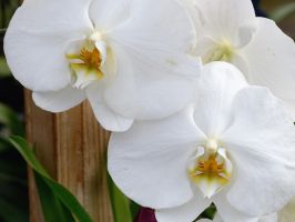 White Orchid by FeralWhippet